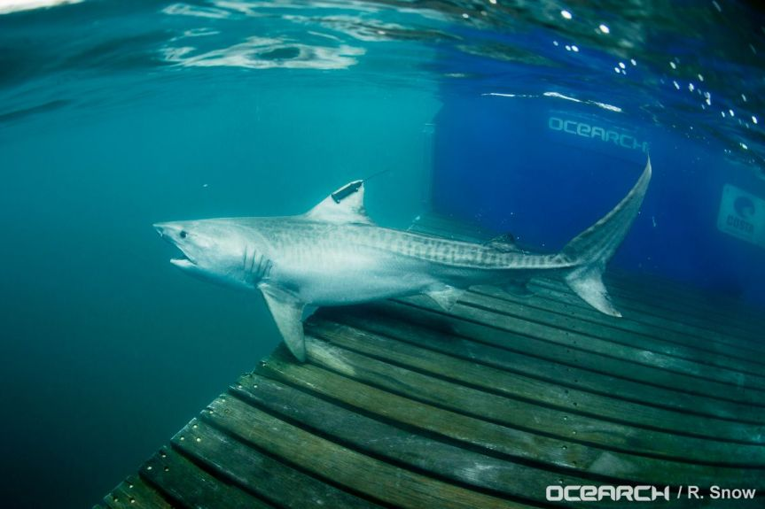 Tiger Shark Makes Historic Journey From the Galapagos Marine Reserve to Cocos Island NationalPark