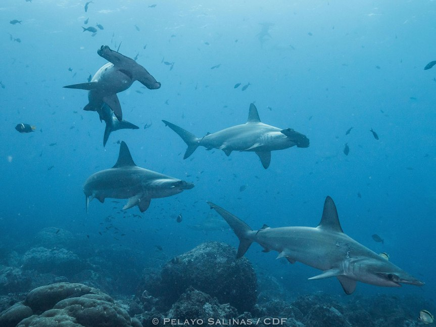 From the Galapagos to Panama (and back): Satellite tracking reveals round trip migration by pregnant scalloped hammerhead shark to coastal birthinggrounds