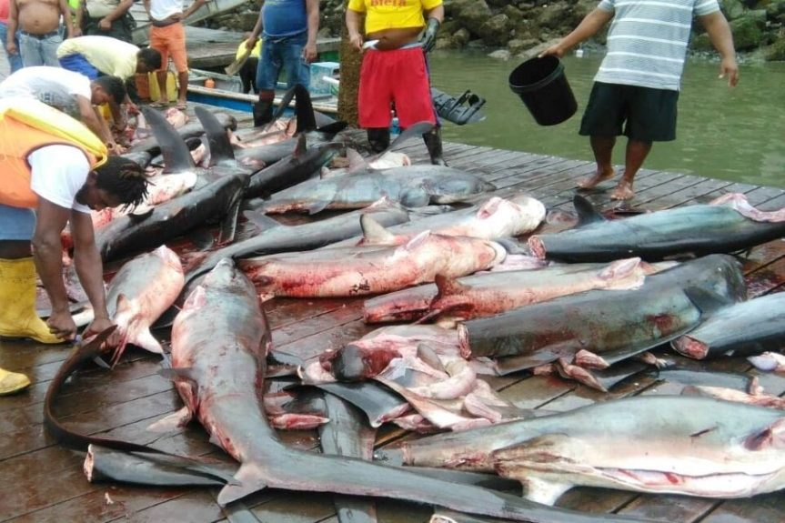 """Sharks: """"Ravaged by fishing and lack of information"""""""