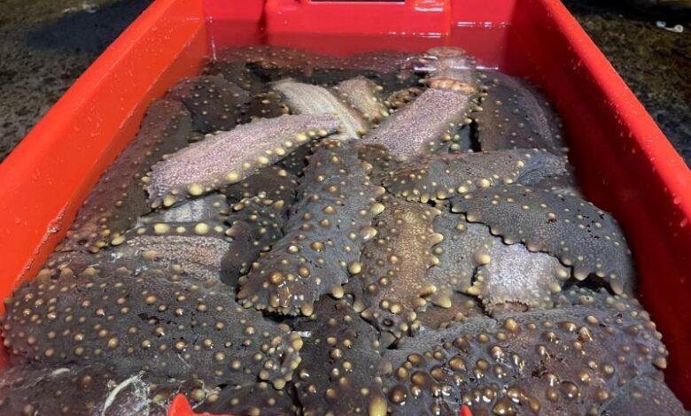Ecuador calls an end to sea cucumber season inGalapagos