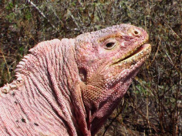Galapagos Pink Land Iguanas on Verge of Extinction, ExpertsSay