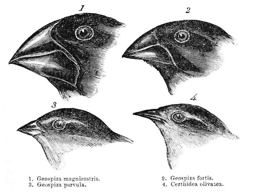 How Galápagos finches evade a parasiticfly